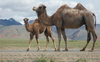 Fun Facts About Camels [LiveScience 2013-02-27]