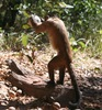 Nut-Cracking Monkeys Show Humanlike Skills [LiveScience 2013-02-27]