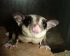 Southpaws: Some Female Marsupials Are Lefties [LiveScience 2013-03-05]