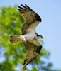 Wanted: Osprey Watchers as Citizen-Scientists [LiveScience 2013-03-08]