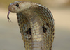 Fun Facts About Snakes [LiveScience 2013-03-12]