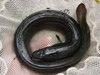 Eel Mystery Deepens with Shark Chow-Down [LiveScience 2013-03-13]