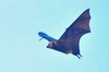 Mauritian flying fox (Pteropus niger)