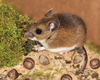 Fun Facts About the Mouse [LiveScience 2013-03-19]