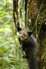 Secrets of a Strange Lemur: An Aye-Aye Gallery [LiveScience 2013-03-25]