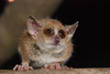 Tiny Lemur Twins Are 2 New Species [LiveScience 2013-03-26]