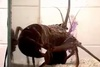 Mollusks to Hungry Lobsters: Snot Gonna Happen! [LiveScience 2013-03-27]