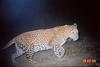 Leopards and Humans Peacefully Coexist in India [LiveScience 2010-03-29]