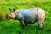 Indian rhinoceros (Rhinoceros unicornis)