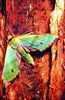 Fabulous green sphinx moth (Tinostoma smaragditis)