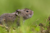 In Photos: Adorable Voles [LiveScience 2013-04-04]