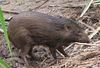 Critically Endangered Pygmy Hogs Slowly Re-Introduced to Wild [LiveScience 2013-04-08]