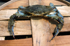 Supersized Crabs Bad News for Seafood Lovers [LiveScience 2013-04-08]