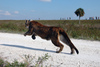 Endangered Florida Panther Released in Palm Beach County [LiveScience 2013-04-09]