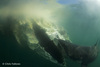Great White Sharks Gorge on Dead Whale Blubber [LiveScience 2013-04-10]