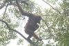 Secret Population of Orangutans Found [LiveScience 2013-04-10]