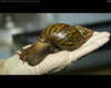 Attack of the Giant Snails! [LiveScience 2013-04-15]
