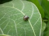 Kudzu-Eating Stinkbug May Attack US Soybeans [LiveScience 2013-04-15]