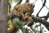 Image Gallery: Red Squirrel Moms and Babies [LiveScience 2013-04-19]