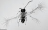 New 'Fairy' Insect Is Mind-Blowingly Small [LiveScience 2013-04-24]