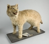 Exotic Cat Prowled British Countryside a Century Ago [LiveScience 2013-04-24]