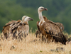 Why Vultures Devoured Hiker's Body in Minutes [LiveScience 2013-05-07]