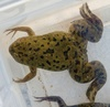 Pregnancy Test Frog May Have Spread Fatal Fungus [LiveScience 2013-05-15]