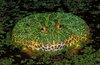 Лягушка Дарвина Лягушки этого вида живут в лиственных лесах и имеют необычный способ...