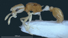 Weird Pirate Ant Comes With an 'Eye Patch' [LiveScience 2013-05-21]