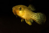 Gulf Killifish Show Defects from Crude Oil Exposure [LiveScience 2013-05-22]