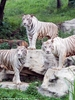 How the White Tiger Got His Coat [LiveScience 2013-05-23]