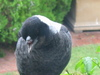 Australian Magpie with missing top beak