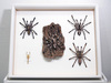 Framed Ornamental Tarantula Specimens