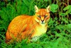 African golden cat (Felis aurata)