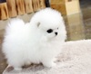 Charming Teacup Pomeranian Puppies Available Text (701) 660-2572