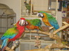 Healthy Macaw Parrots