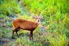 Hog deer (Axis porcinus)