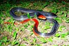 Red-headed krait (Bungarus flaviceps)