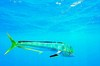 Common dolphinfish (Coryphaena hippurus)