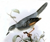 Red-winged grey warbler (Drymocichla incana) illustration