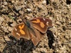 Nettle-tree Butterfly (Libythea celtis)