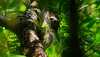 Pygmy three-toed sloth (Bradypus pygmaeus)