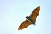 Blyth's flying fox (Pteropus melanotus)