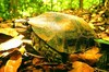 Asian brown tortoise (Manouria emys)