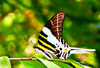 Giant swordtail (Graphium androcles)