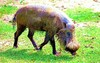 Bearded pig (Sus barbatus)