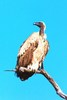 Cape vulture (Gyps coprotheres)