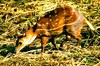 Water chevrotain (Hyemoschus aquaticus)