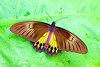 Common birdwing (Gallus gallus)