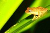 Blue-eyed bush frog (Philautus neelanethrus)